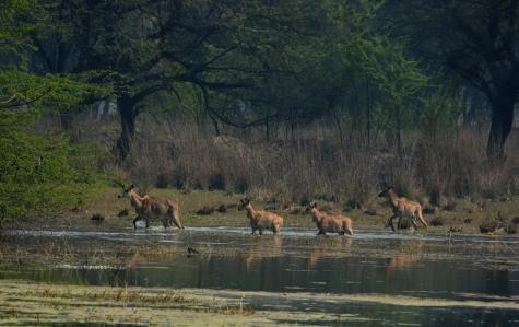 Sultanpur is home to nilgais too