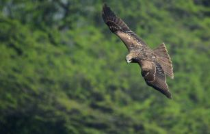 Black Kite incoming