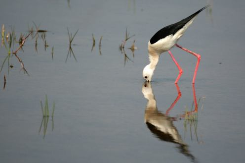 A Black Winged Stilt meets his reflection