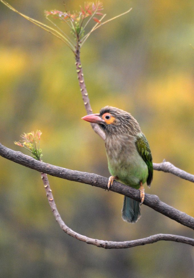A brown headed barbet
