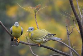 A pair of Yellow Footed Green Pigeons
