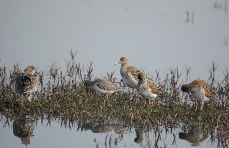 Ruffs spotted on a wetland on our way to the main destination