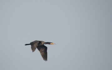 A Great Cormorant flies past