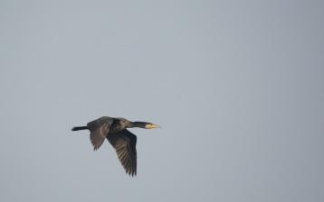 A Great Cormorant flies past