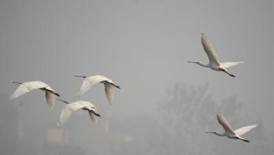 Eurasian Spoonbills take to the air