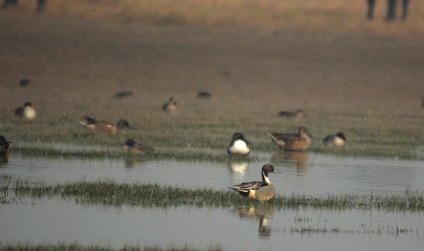 A very handsome pintail with Northern Shovellers in the background