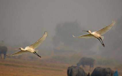 Eurasian Spoonbills landing