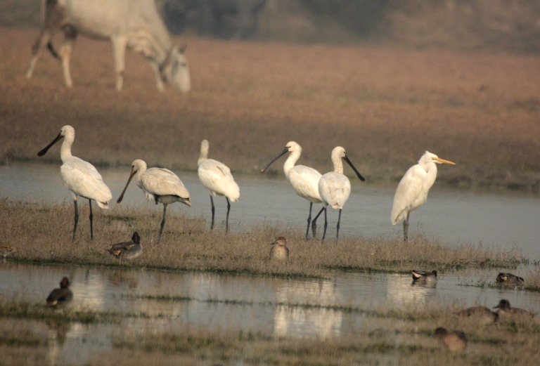 Eurasians Spoonbills won't talk to the Intermediate Egret!