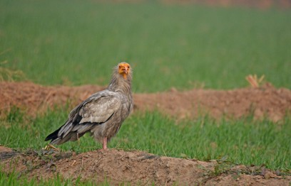 Egyptian Vulture, also called the Pharaoh's Chicken