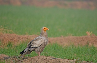 The Pharaoh's Chicken