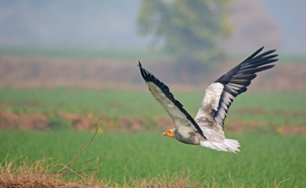 An Egyptian Vulture flies low over the fields