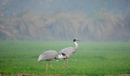 Aaah! What we actually came to see. A pair of Sarus Cranes