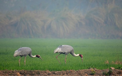 I can watch Sarus Cranes for hours. Such graceful birds