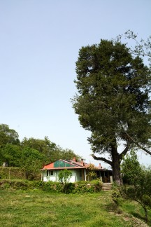 The tall tree guarding our hill house
