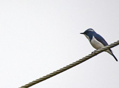 A very distant and massively cropped shot of a male Ultramarine Flycatcher