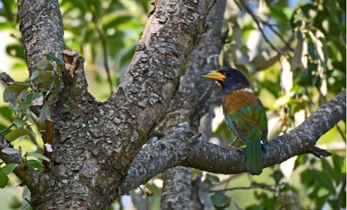 Great Barbet posing