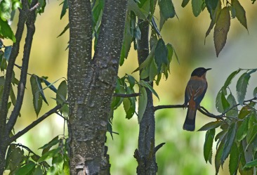 Rufous Sibia, a record shot. It was all around me but never got a decent shot. Al;waus restless, darting between trees. Doofus Sibia, more like