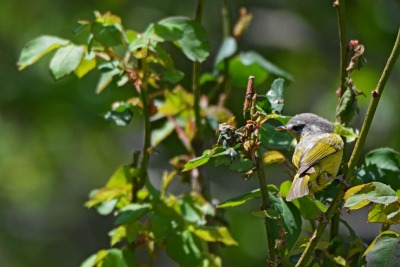 Grey hooded warble