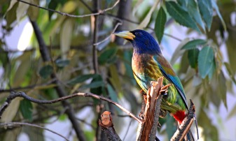Great Barbet - The rainbow bird of the mountains