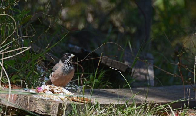 Black headed Jay eating village leftovers