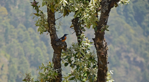 Blue-headed Rock Thrush