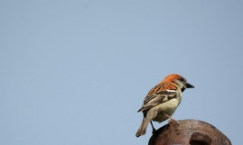 The male Russet sparrow and the tit's tormentor-in-chief