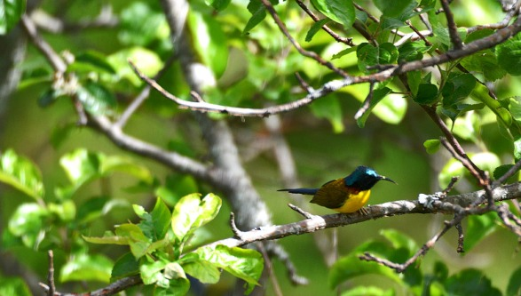 Green tailed sunbird