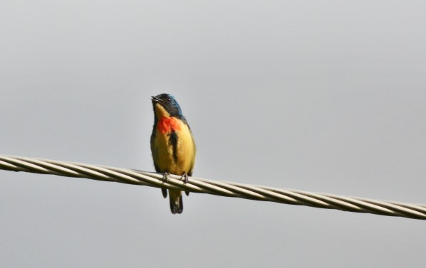 Fire-breasted flowerpecker.