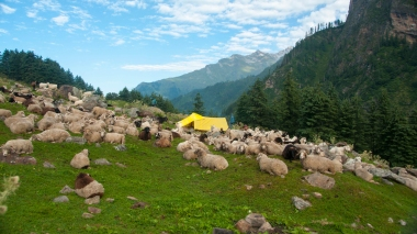 The sheep fell in love with the trekkers