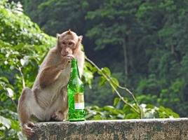 Mowhaked monkey investigates a recently discarded beer bottle