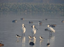 Eurasian Spoonbills, Black Winged Stilts and other residents