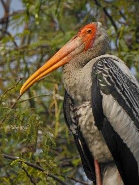 Portrait of a painted stork.