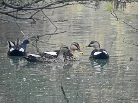 A gaggle of spot-billed ducks