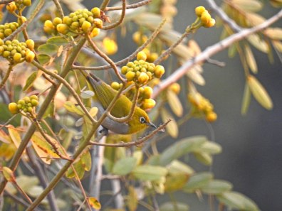 Tiny dancer - an Oriental whiteeye