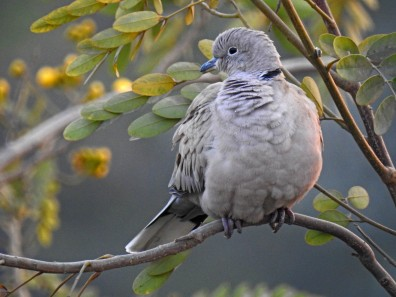 A collared dove, all fluffed up to fight the cold
