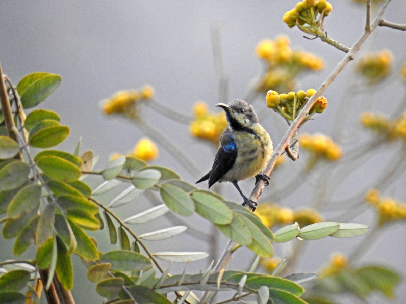 A Purple sunbird in eclipse plumage