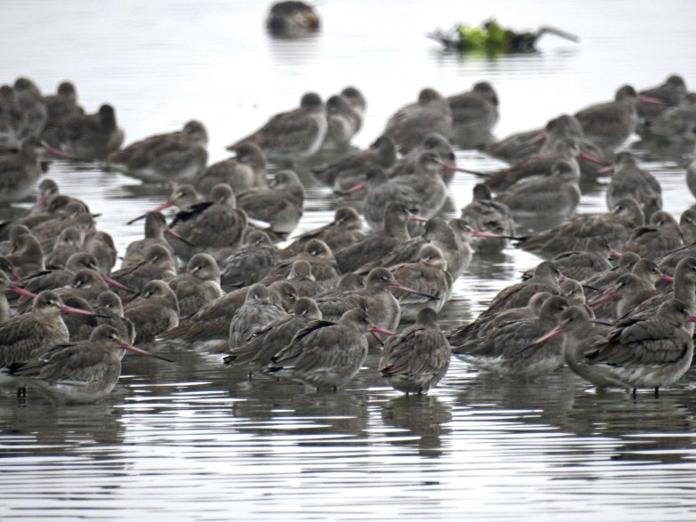 A ton of Sleeping Godwits