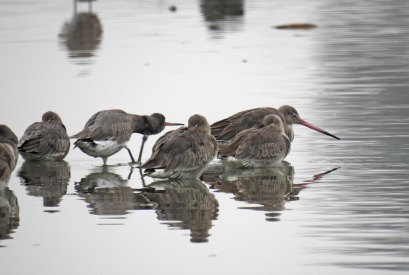 More Sleeping Godwits