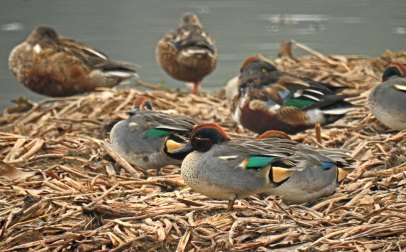 Resting Common Teals