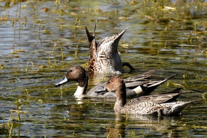 Northern Pintail Pair