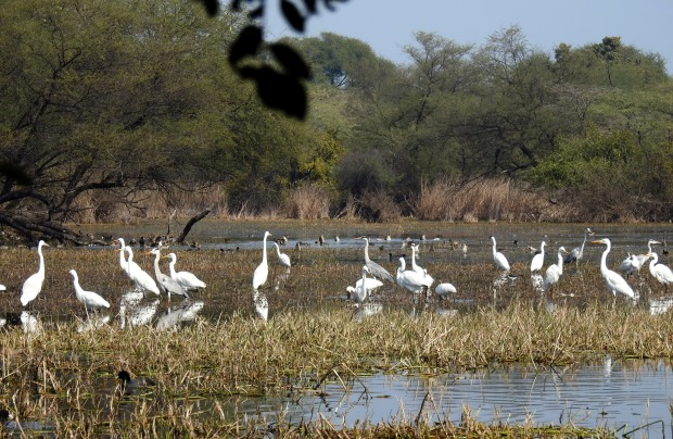 Egrets, grey herons and the odd spoonbill