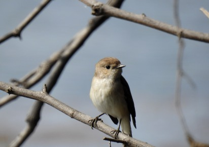 Some flycatcher