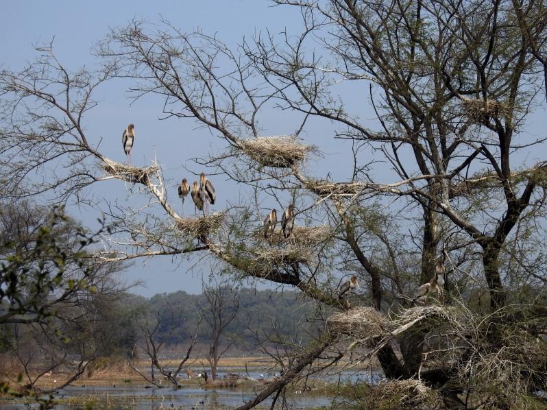 Painted storks nesting