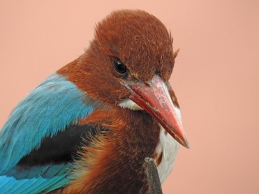 White Breasted Kingfisher