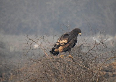 Steppe eagle. might also be a greater spotted eagle. not sure