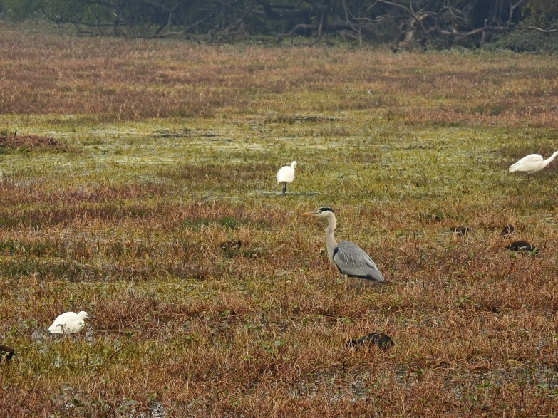Grey Heron in habitat