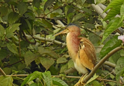 Yellow Bittern