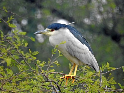 Black crowned Night Heron, male