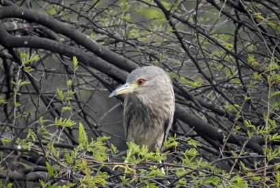 Black crowned Night Heron, female