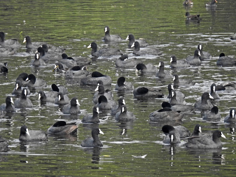 A gaggle of coots